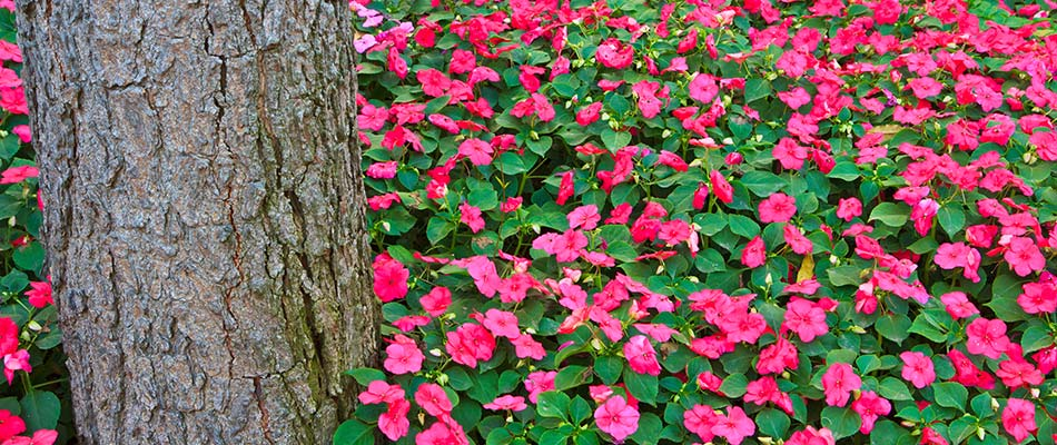 Bright pink impatiens growing around a tree in a South Bend, IN yard.