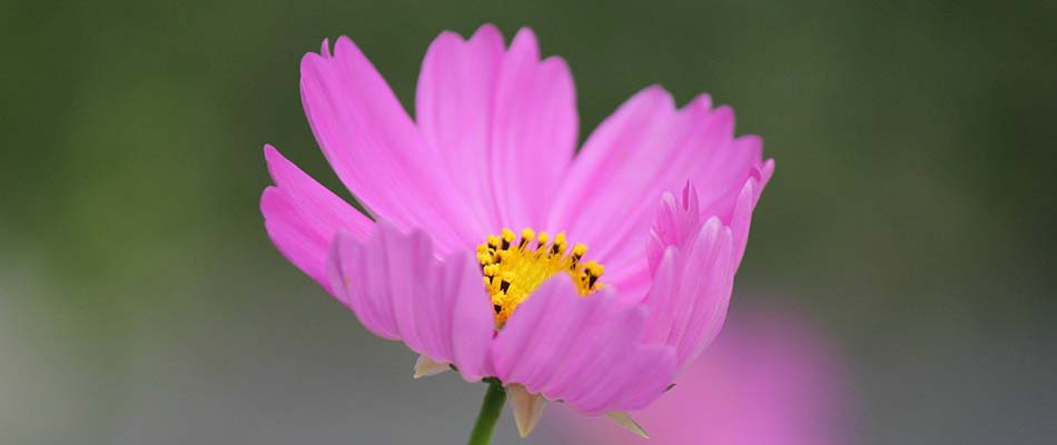 Closeup photo of a cosmos flower blooming in Elkhart, IN.