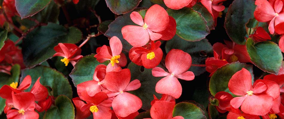 Brightly colored begonia flower blooms near Elkhart, IN.