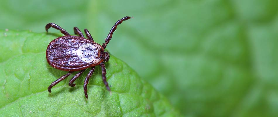 Close up photo of a tick standing on a green leaf around South Bend, IN.